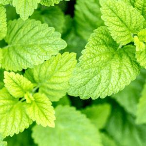 Lemon Balm - Hydrating Recovery Mist