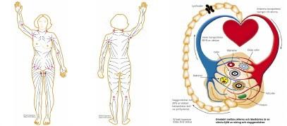 Bild på lymfsystemet hämtad från Bebe Granstens hemsida (länk Lymfsystemet)