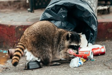 raccoon problems Brevard County