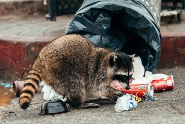 raccoon problems Brevard County
