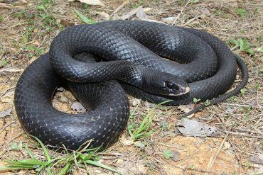 snake black racer