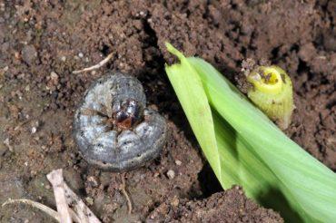 cutworm pests brevard county
