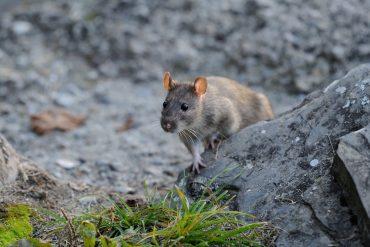 rats in Brevard Florida