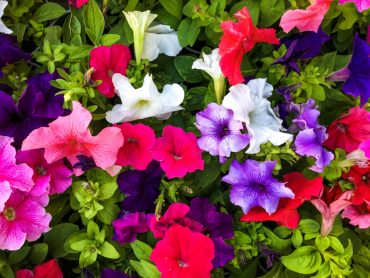 petunias repel pests