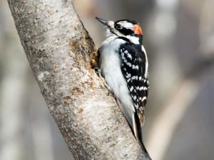 hairy woodpecker florida