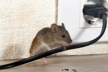 Pest control - mouse