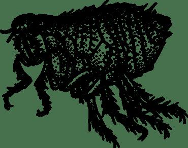 Flea bites - dangerous