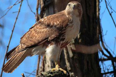 FL hawk and how to repel them
