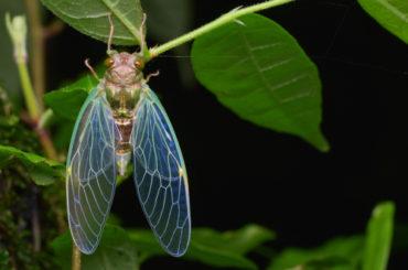 Cicadas in FL