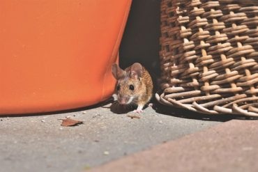 House Mouse Pest Problem