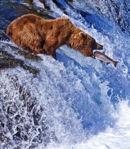 Grizzly bear catching fish and getting results