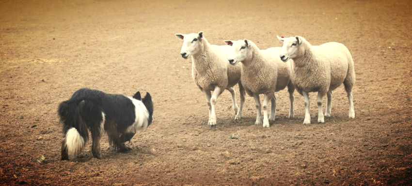 Herding Sheep - Marketing and Sales
