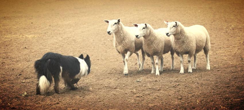 Herding Sheep - Marketing and Sales