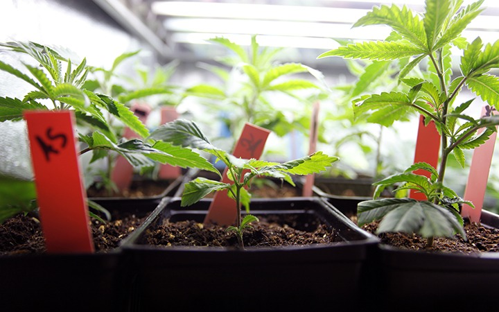 how long does it take to grow a weed plant