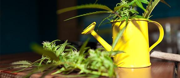 water marijuana seeds