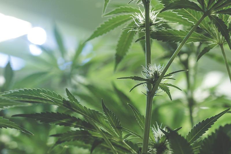 protect marijuana pests