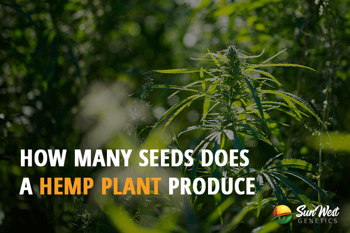 hemp seeds high cbd
