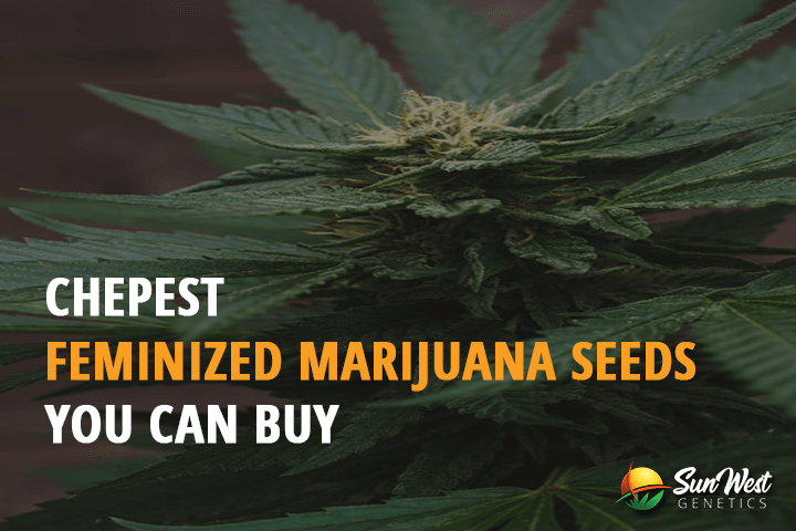cheap feminized marijuana seeds for sale