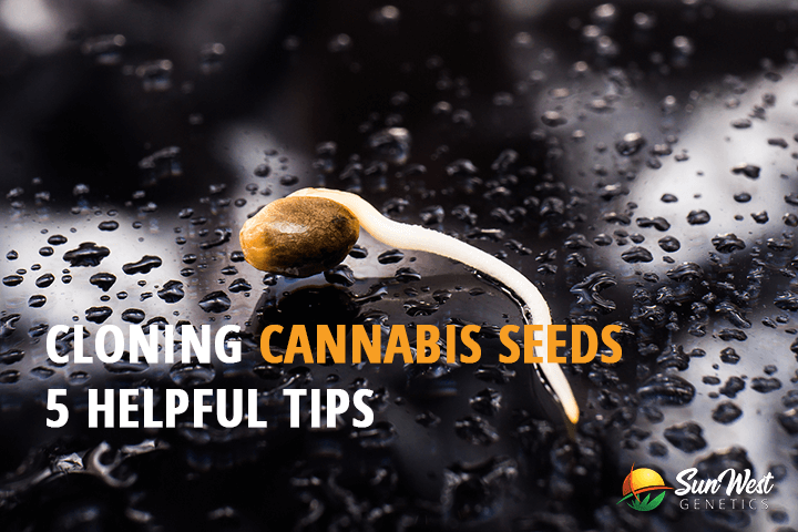 cloning cannabis seeds