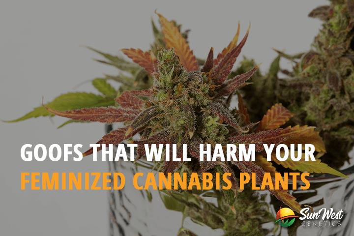 feminized cannabis plants