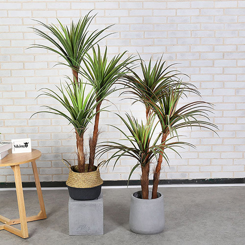 Improve Geomantic Omen with Artificial Dragon: Dracaena Tree