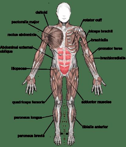 Muskeln Trainingsplit