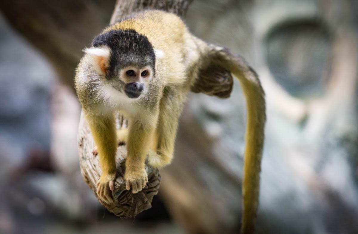 Bollivian Squirrel Monkey