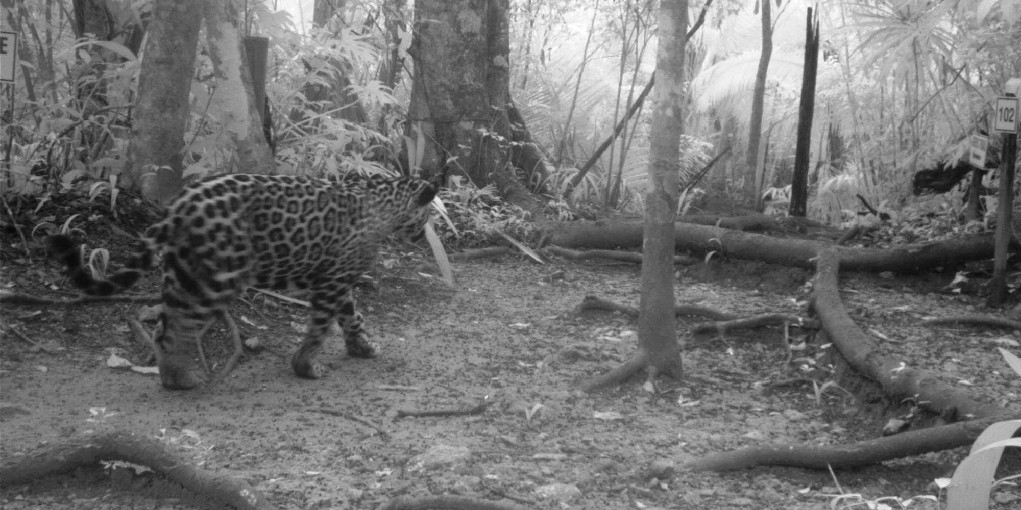 Phototrap shot of jaguar near Chan Chich Lodge