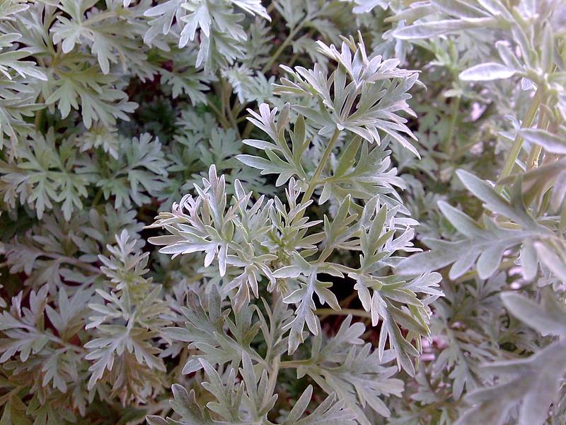 Pianta dell'artemisia absinthium