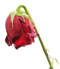 La Rose tire la gueule