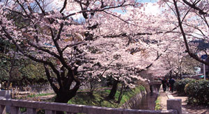 Philosophers_Walk_sakura