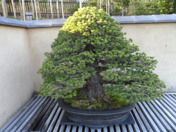 showa_kinen_bonsai_1