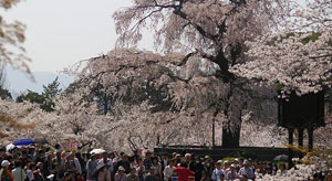 yasaka_shrine_sakura