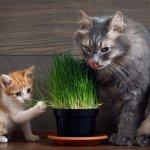 Pourquoi les chats retournent-ils pour l'herbe à chat? 7