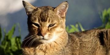 symptomes duti chez les chats