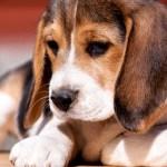 La vie avec des chiens de berger allemands - Le bon Le mauvais et le truand 7