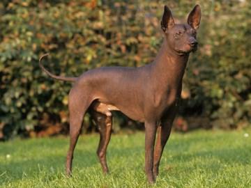 la race de chien mexicain sans poils ou xoloitzcuintli