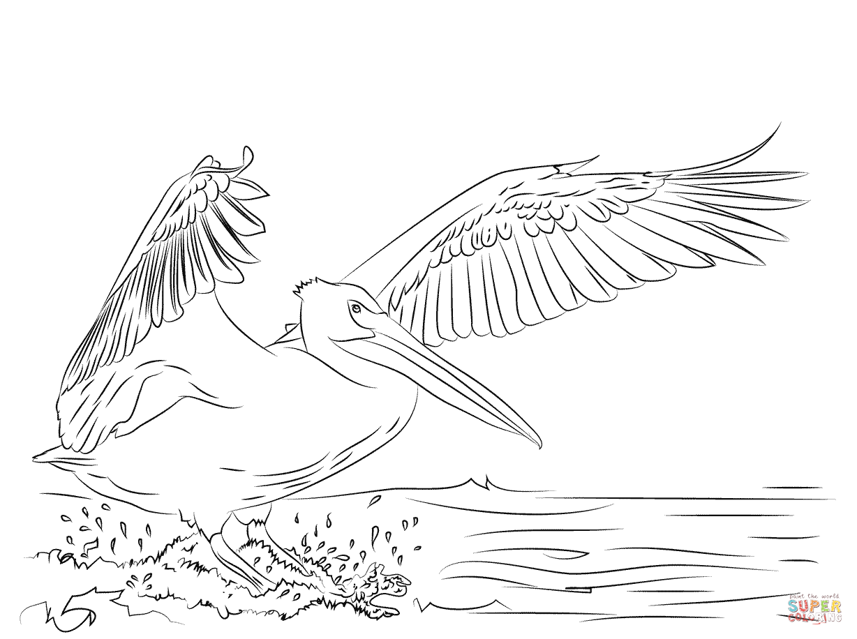 American White Pelican Landing Coloring Page