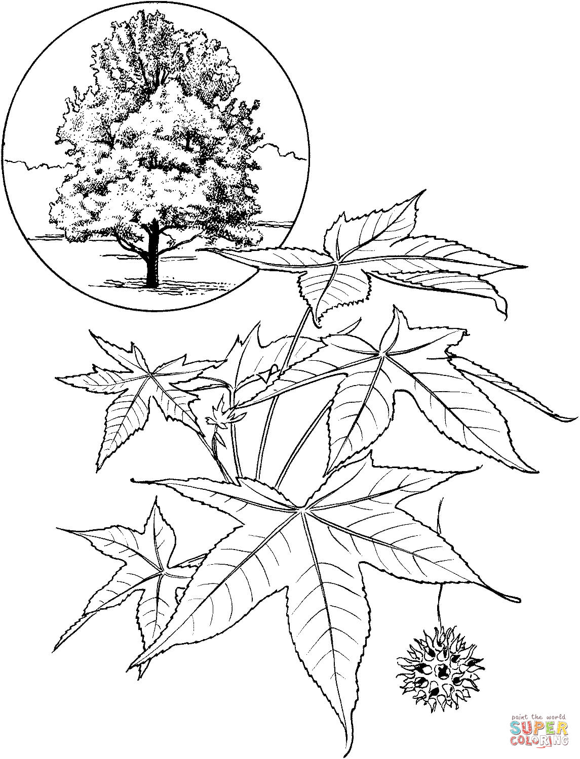 American Sweet Gum Tree Coloring Page