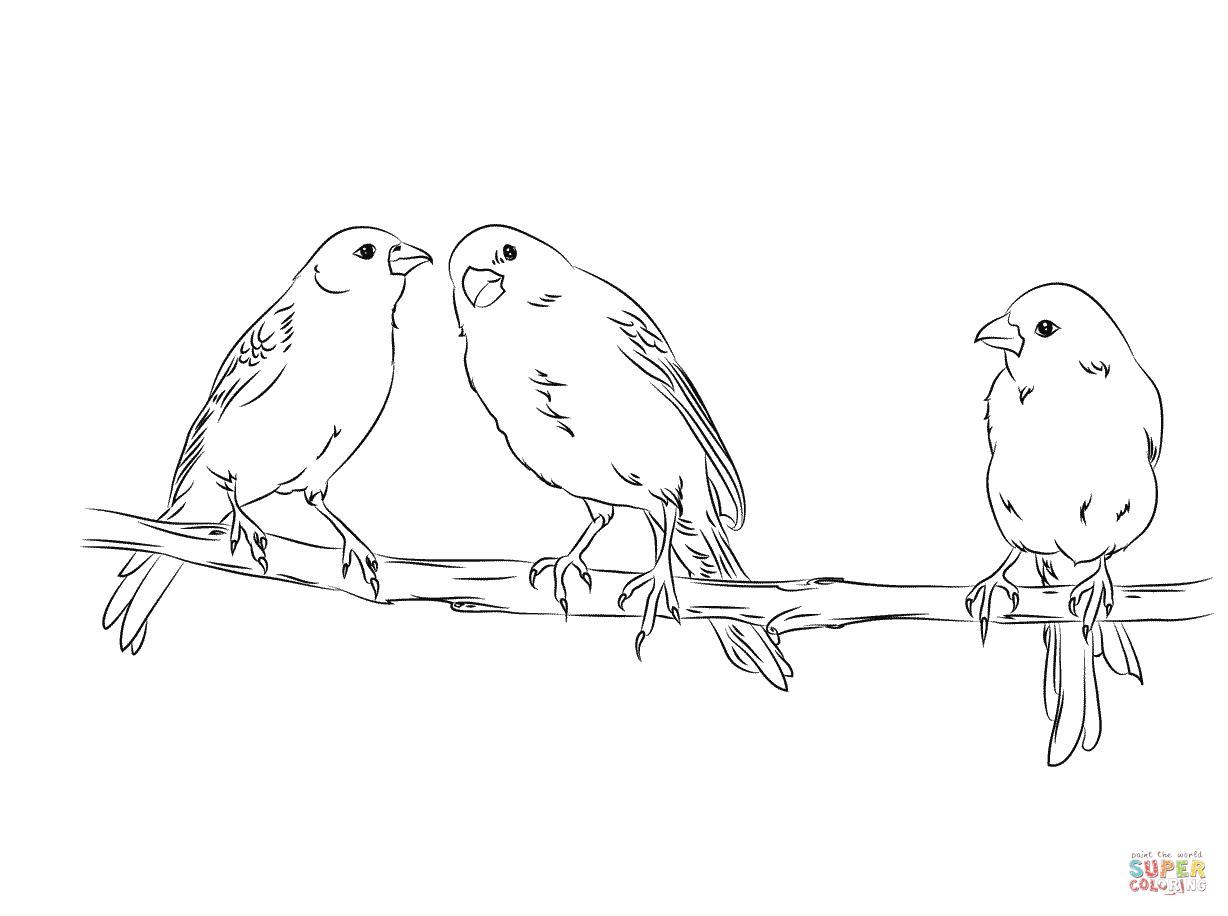 Disegno Di Tre Canarini Gialli Da Colorare
