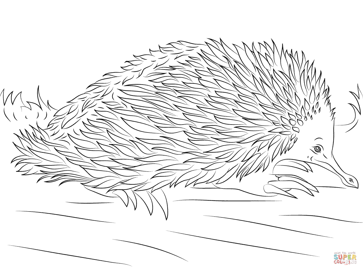 Cute Short Beaked Echidna Coloring Page