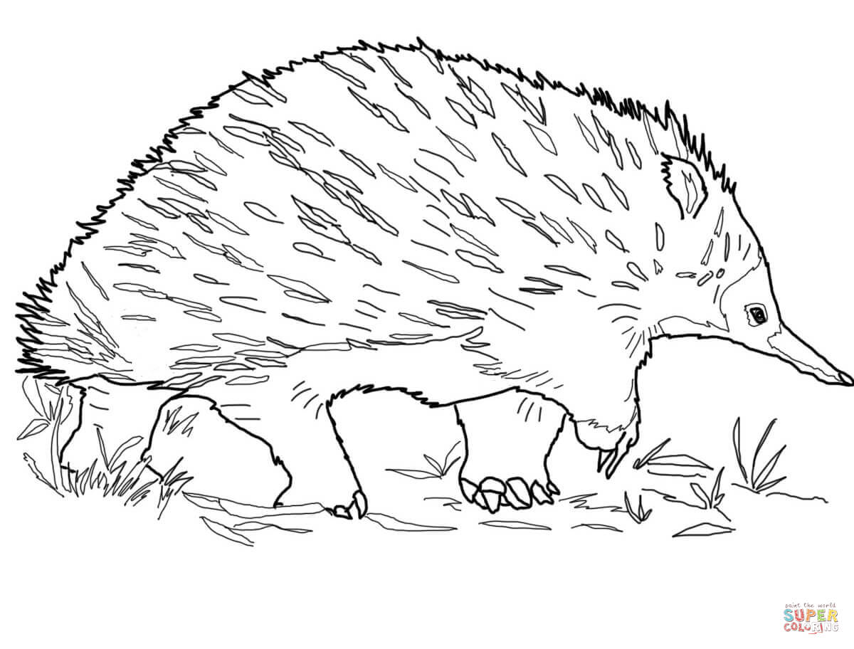Walking Echidna Coloring Page