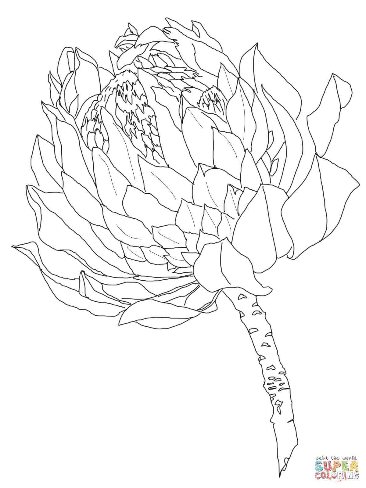 Protea Coloring Page