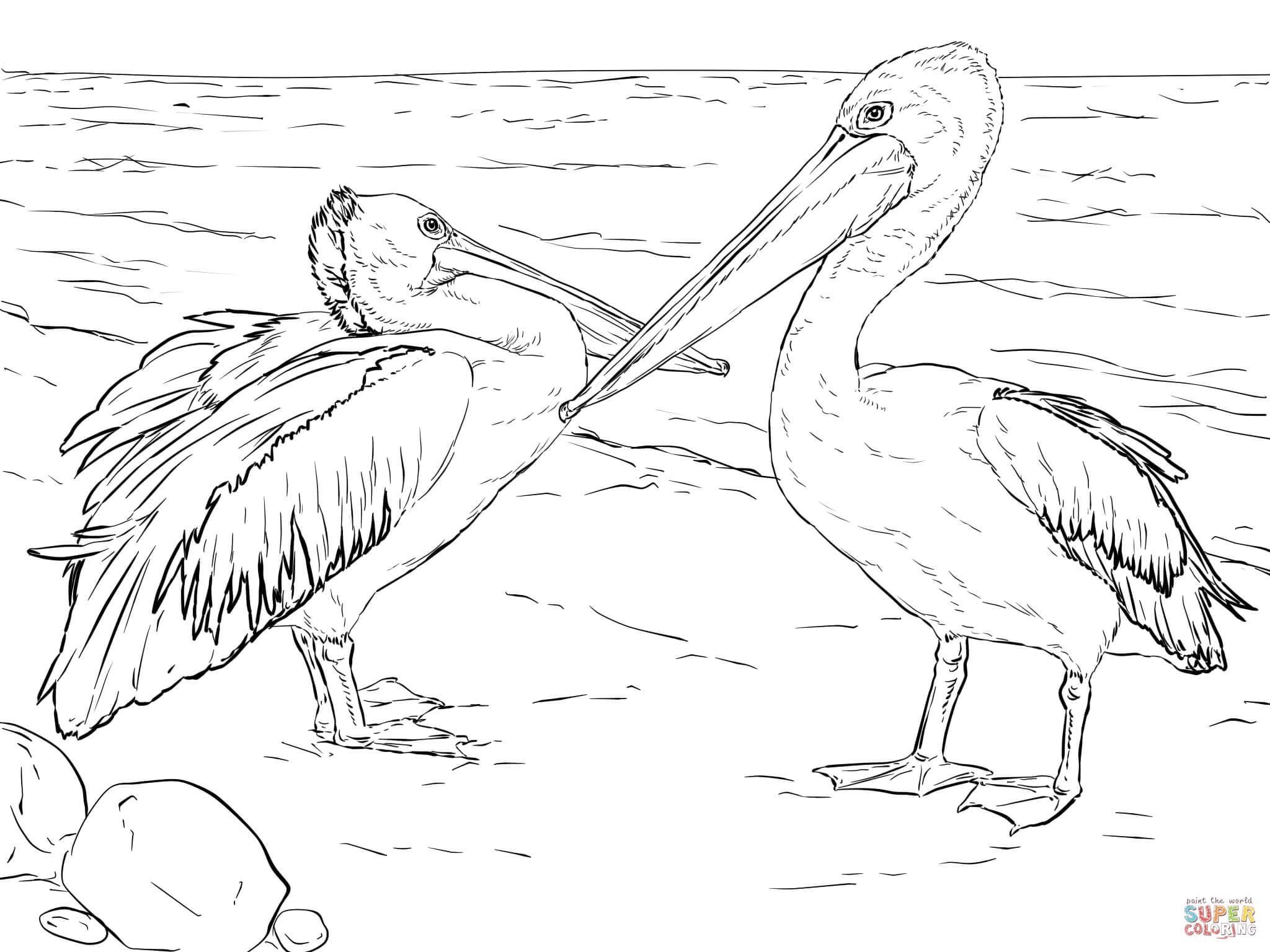 Kolorowanka Pelikany Australijskie