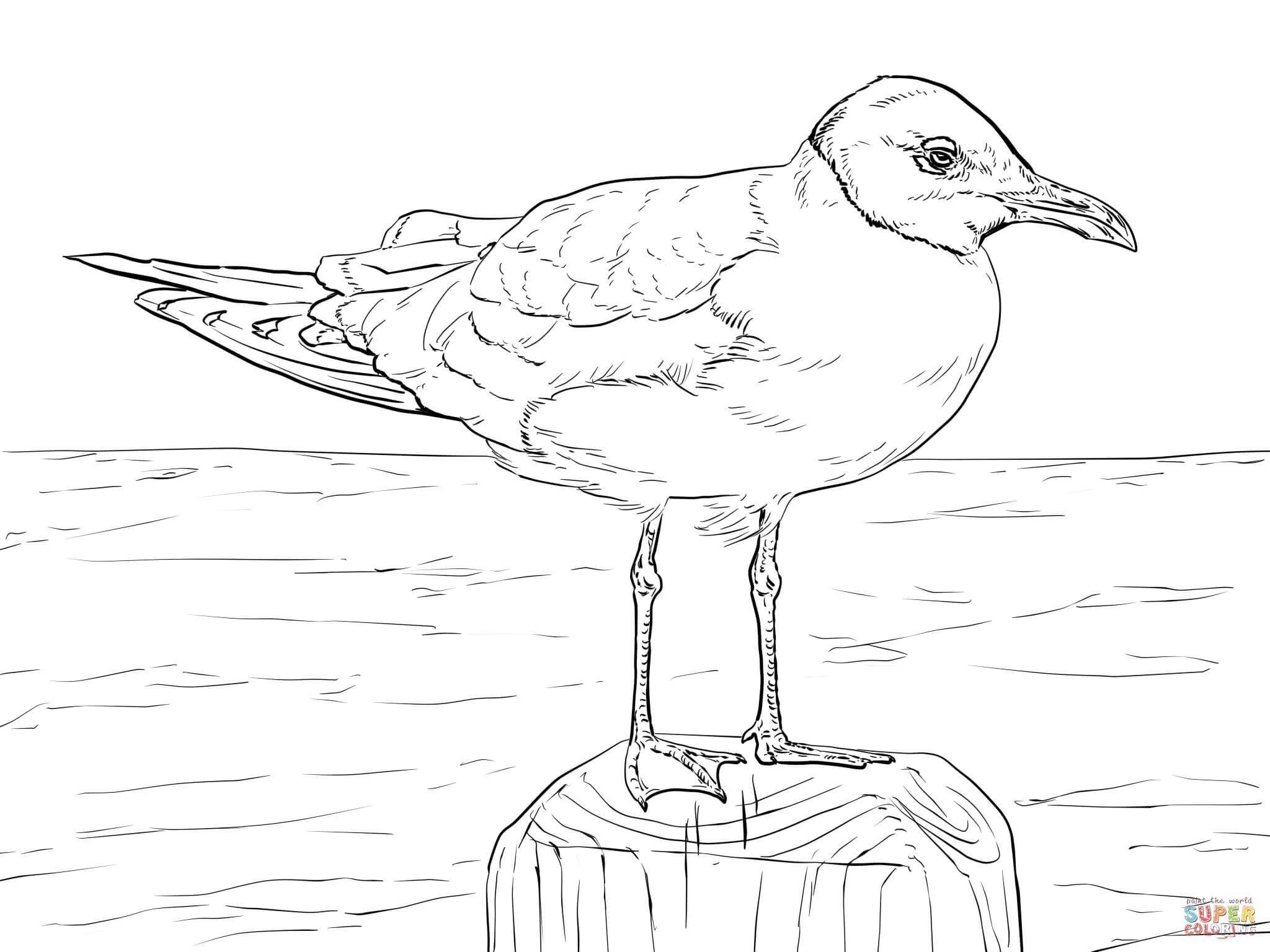 Laughing Gull Coloring Page