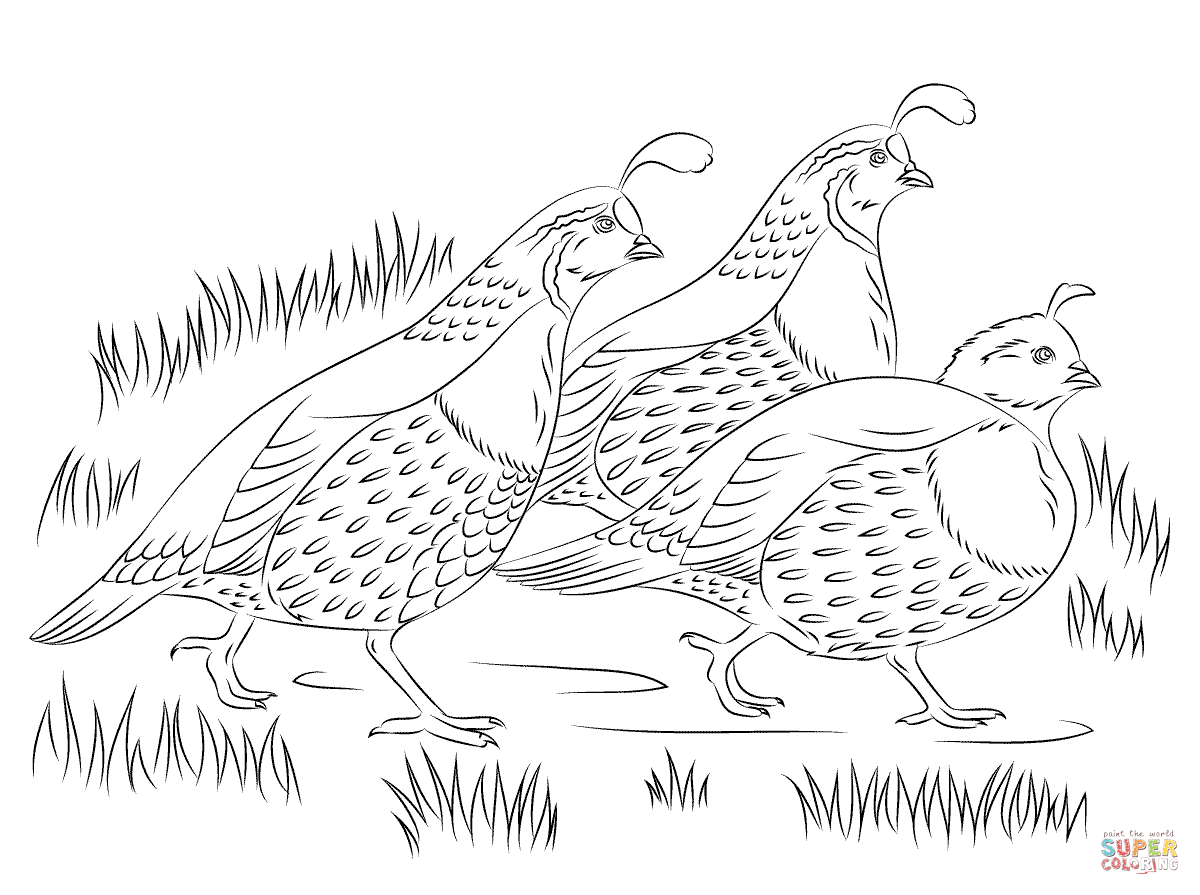 California Quails Coloring Page