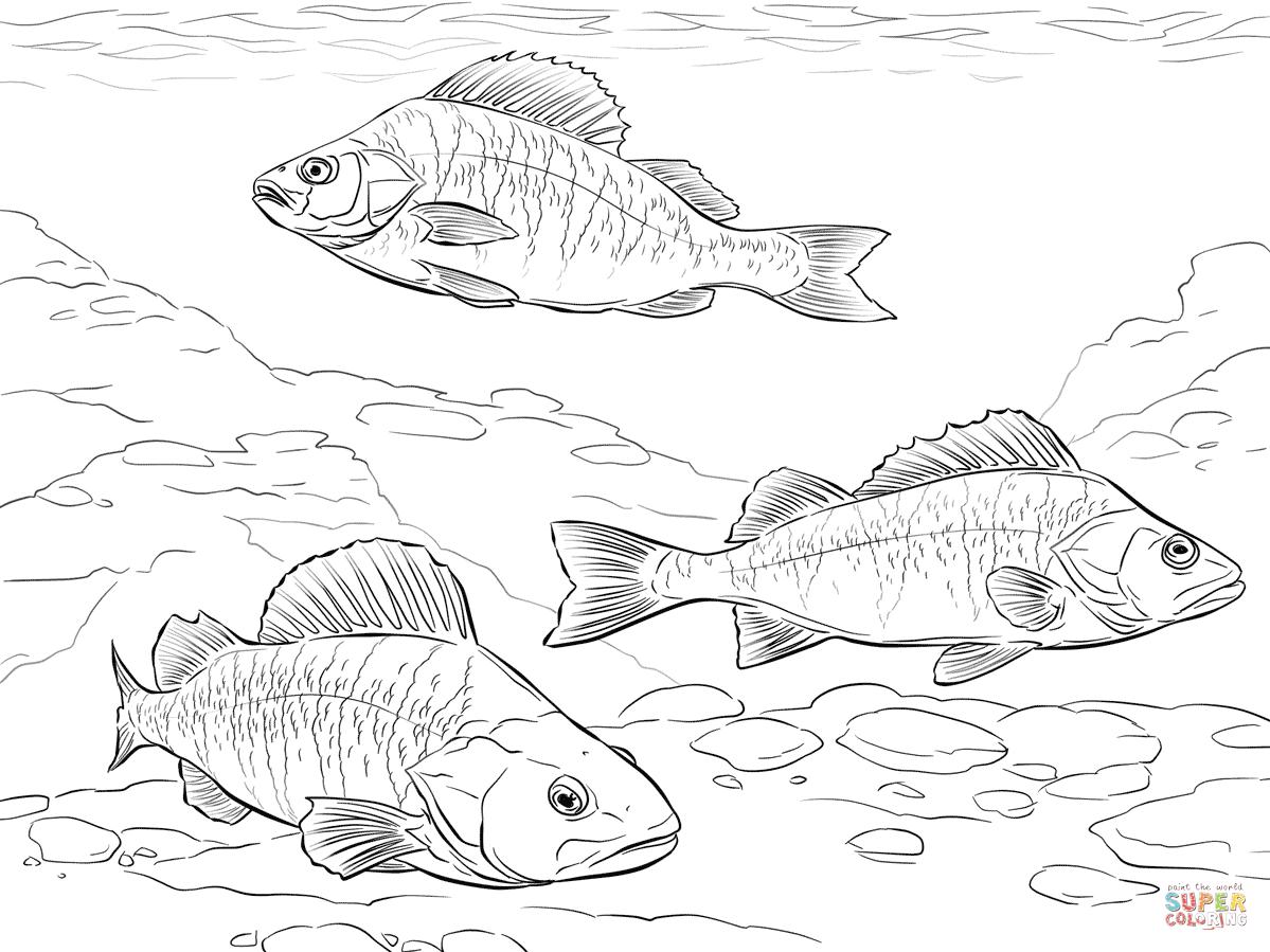 European Perch Coloring Page