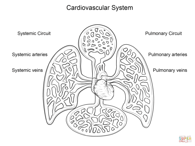 Cardiovascular System Coloring Pages   Coloring Pages for ...