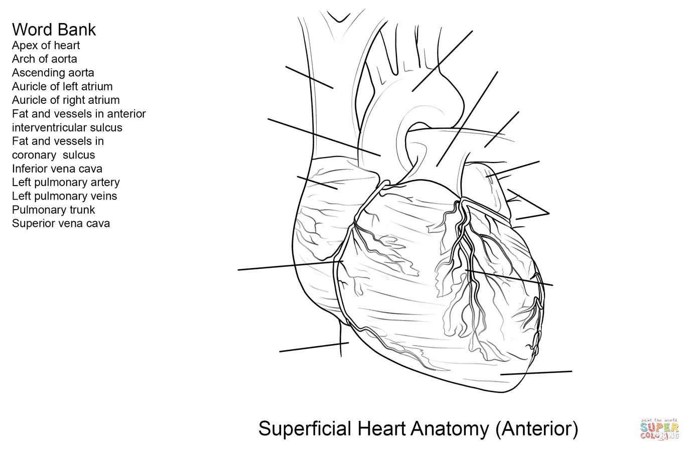 Human Heart Worksheet Coloring Page