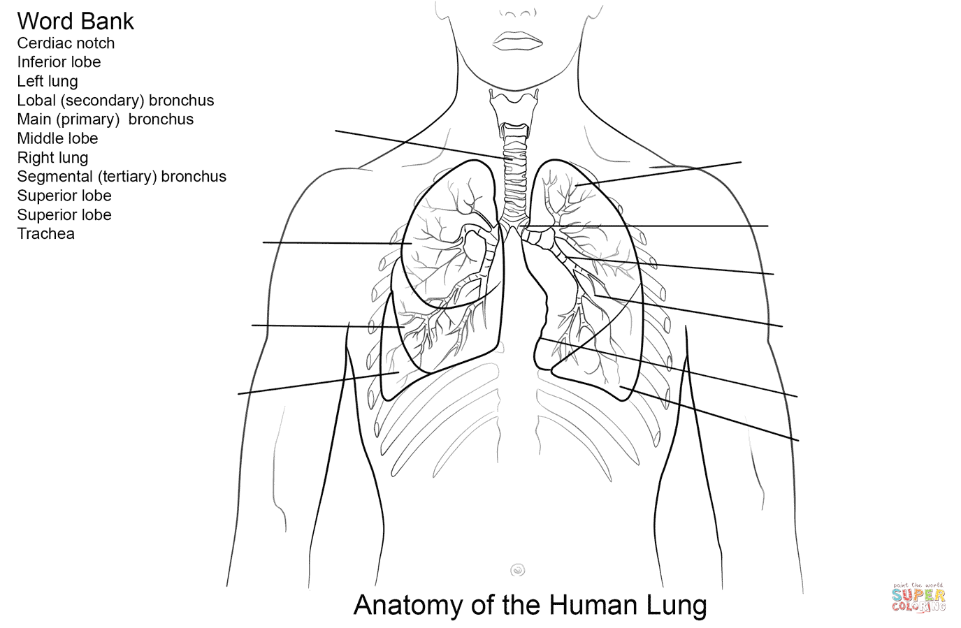 Human Lungs Worksheet Coloring Page